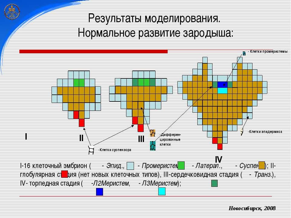 Результаты моделирования. Нормальное развитие зародыша: Новосибирск, 2008