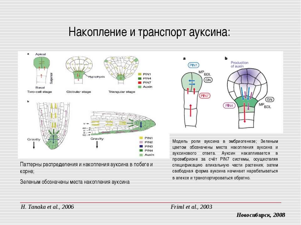 Накопление и транспорт ауксина: Модель роли ауксина в эмбриогенезе; Зеленым ц...