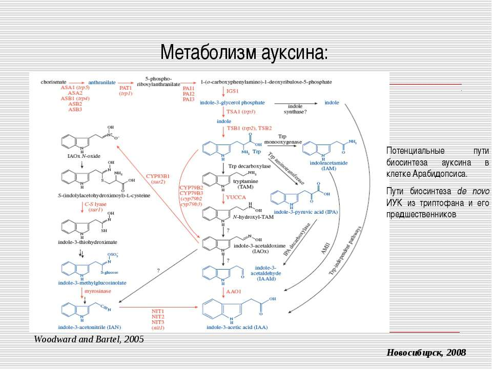Метаболизм ауксина: Новосибирск, 2008 Woodward and Bartel, 2005 Потенциальные...