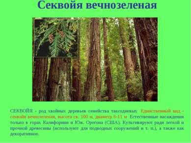 Секвойя вечнозеленая СЕКВОЙЯ - род хвойных деревьев семейства таксодиевых. Ед...
