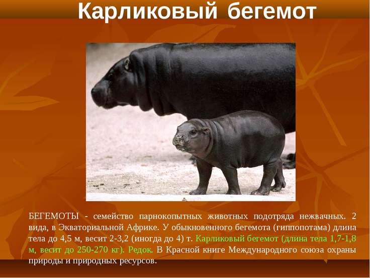 Карликовый бегемот БЕГЕМОТЫ - семейство парнокопытных животных подотряда нежв...