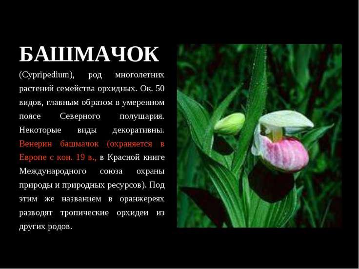 БАШМАЧОК (Cypripedium), род многолетних растений семейства орхидных. Ок. 50 в...