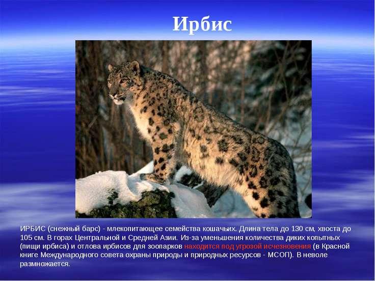 Ирбис ИРБИС (снежный барс) - млекопитающее семейства кошачьих. Длина тела до ...