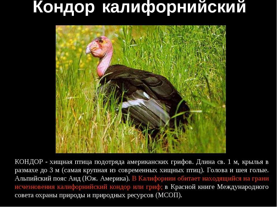 Кондор калифорнийский КОНДОР - хищная птица подотряда американских грифов. Дл...
