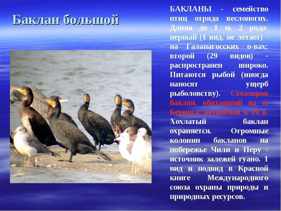 Баклан большой БАКЛАНЫ - семейство птиц отряда веслоногих. Длина до 1 м. 2 ро...