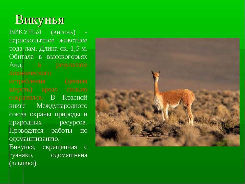 Викунья ВИКУНЬЯ (вигонь) - парнокопытное животное рода лам. Длина ок. 1,5 м. ...
