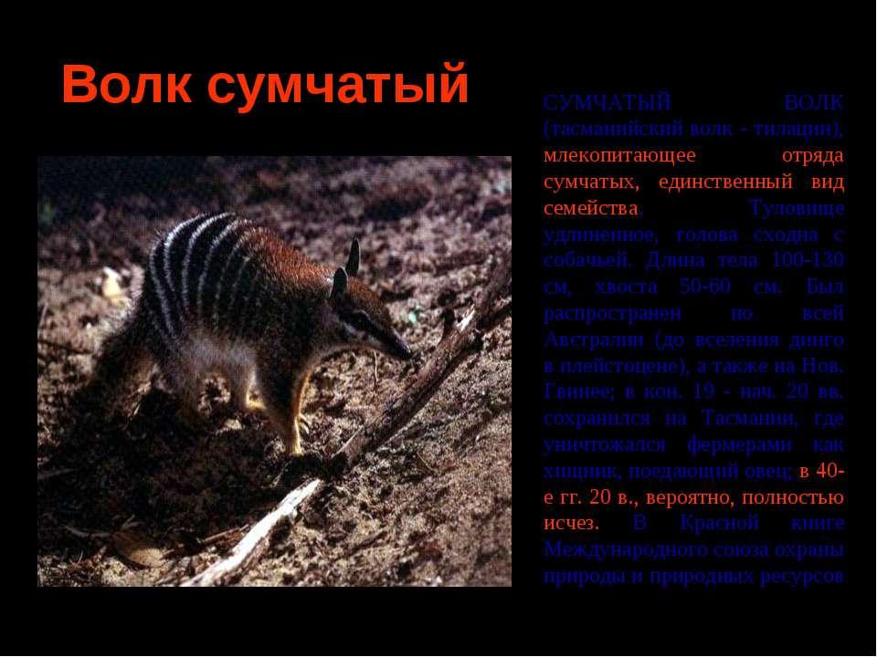 Волк сумчатый СУМЧАТЫЙ ВОЛК (тасманийский волк - тилацин), млекопитающее отря...