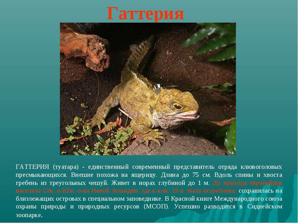 Гаттерия ГАТТЕРИЯ (туатара) - единственный современный представитель отряда к...