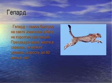 Гепард Гепард – самое быстрое на свете животное в беге на короткие дистанции....