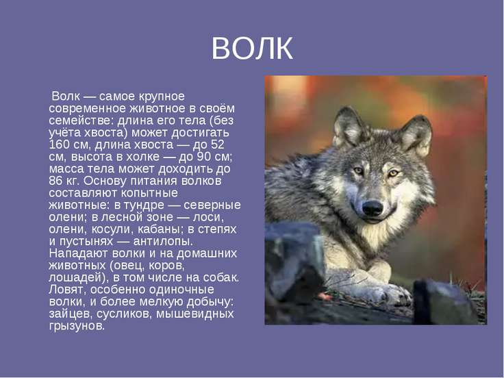 ВОЛК Волк — самое крупное современное животное в своём семействе: длина его т...