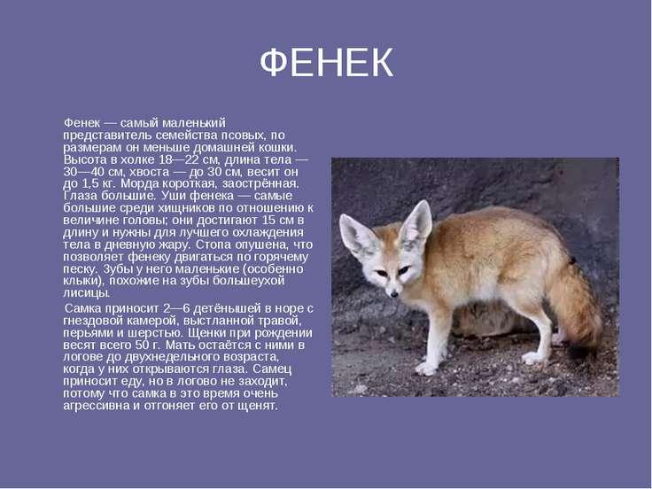 ФЕНЕК Фенек — самый маленький представитель семейства псовых, по размерам он ...
