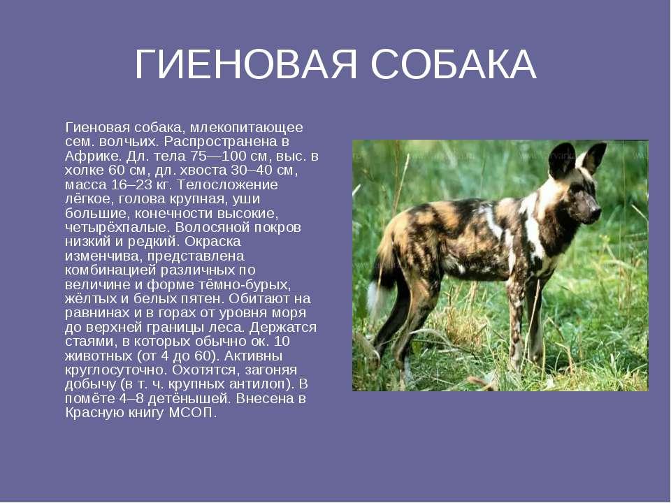 ГИЕНОВАЯ СОБАКА Гиеновая собака, млекопитающее ceм. волчьих. Распространена в...