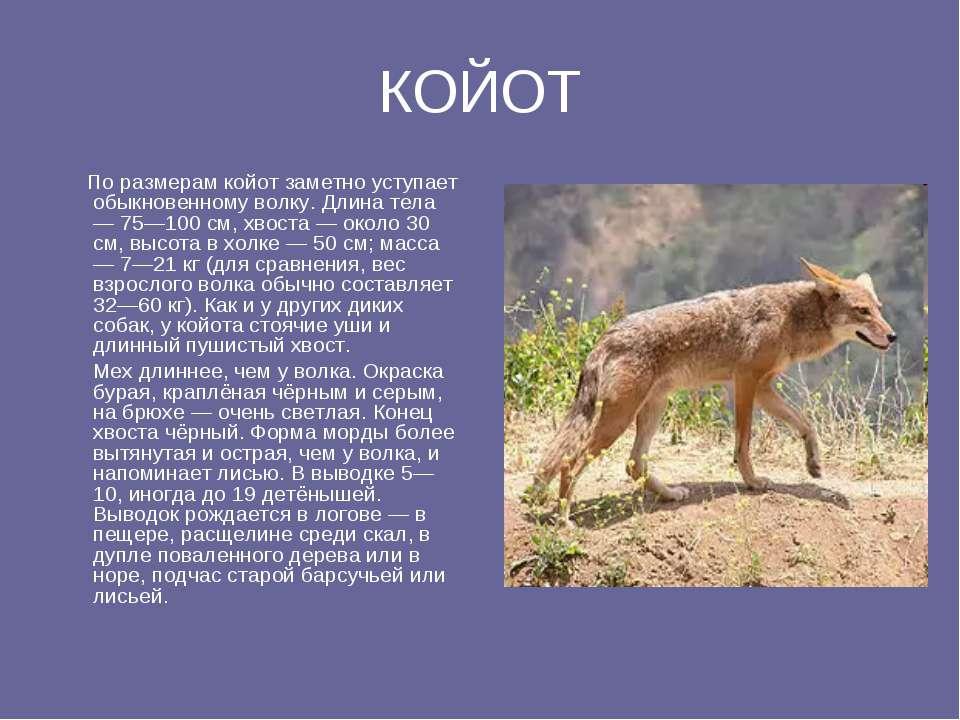 КОЙОТ По размерам койот заметно уступает обыкновенному волку. Длина тела — 75...