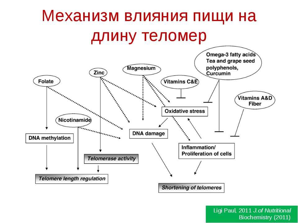 Механизм влияния пищи на длину теломер Ligi Paul, 2011 J.of Nutritional Bioch...