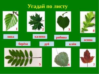 Угадай по листу рябина калина клён дуб осина липа берёза 1 2 3 4 5 6 7
