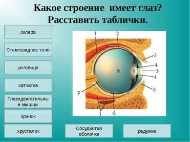 Какое строение имеет глаз? Расставить таблички. склера Стекловидное тело сетч...