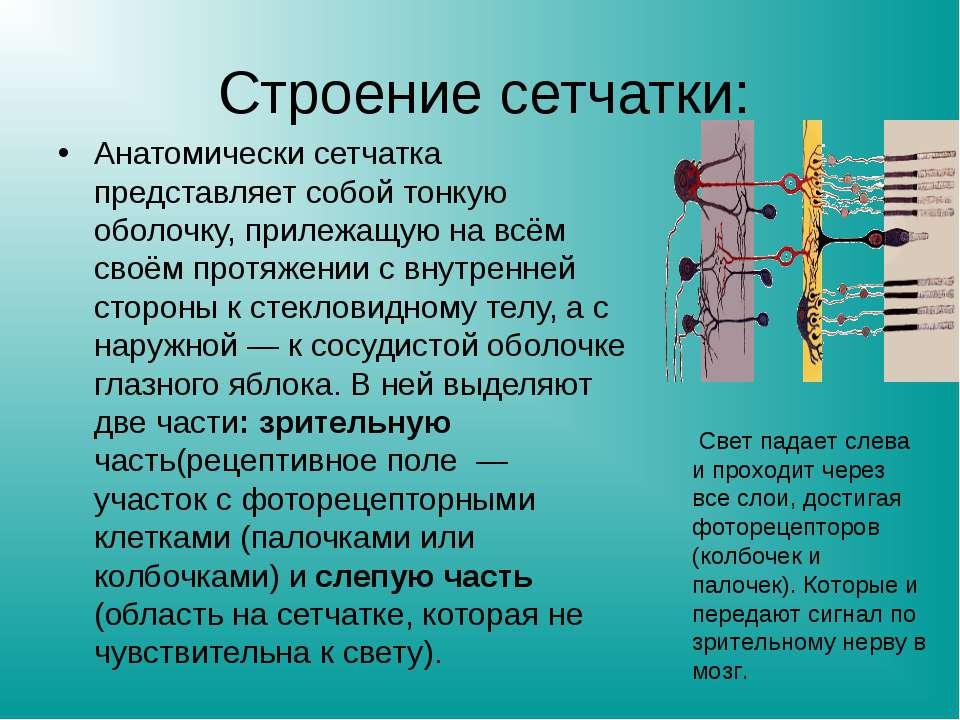 Строение сетчатки: Анатомически сетчатка представляет собой тонкую оболочку, ...