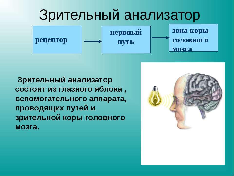 Зрительный анализатор Зрительный анализатор состоит из глазного яблока , всп...