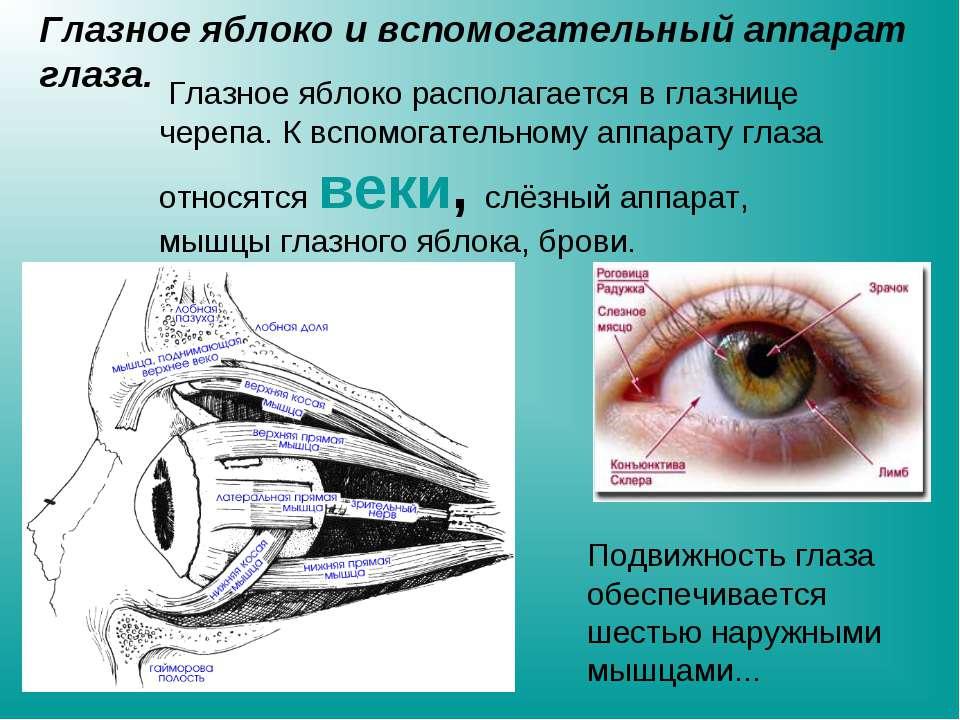 Глазное яблоко и вспомогательный аппарат глаза. Глазное яблоко располагается ...