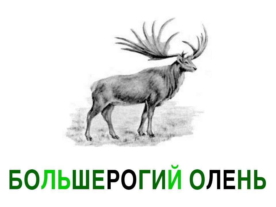 БОЛЬШЕРОГИЙ ОЛЕНЬ