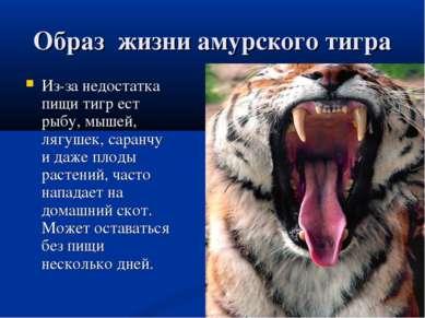 Образ жизни амурского тигра Из-за недостатка пищи тигр ест рыбу, мышей, лягуш...