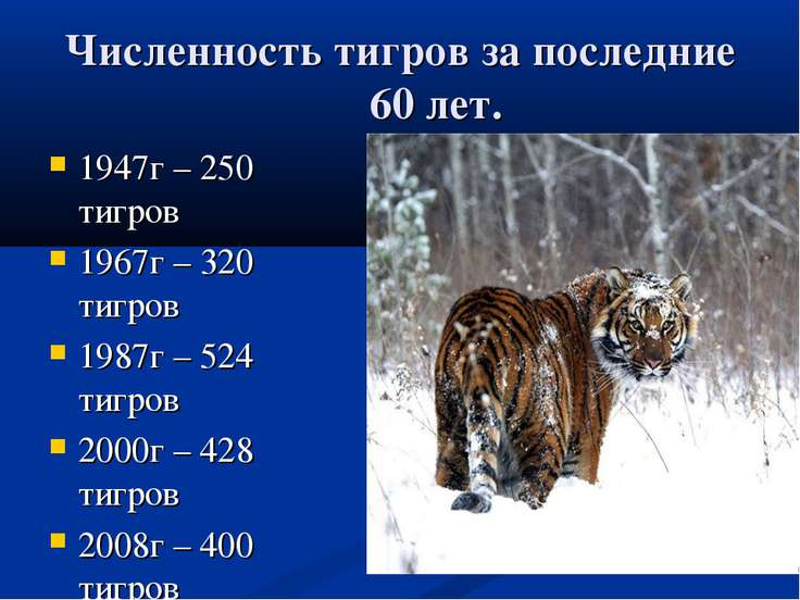 Численность тигров за последние 60 лет. 1947г – 250 тигров 1967г – 320 тигров...