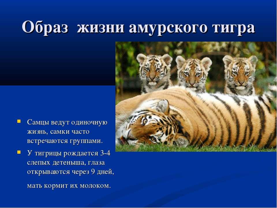 Образ жизни амурского тигра Самцы ведут одиночную жизнь, самки часто встречаю...
