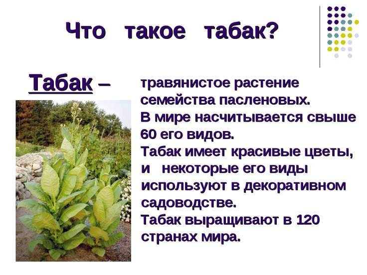 Что такое табак? Табак – травянистое растение семейства пасленовых. В мире на...
