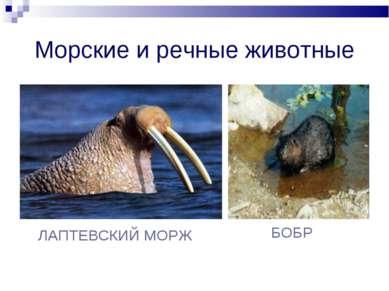 Морские и речные животные ЛАПТЕВСКИЙ МОРЖ БОБР