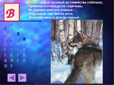 Волк - самый крупный из семейства собачьих, Приметы его никуда не спрячешь, И...