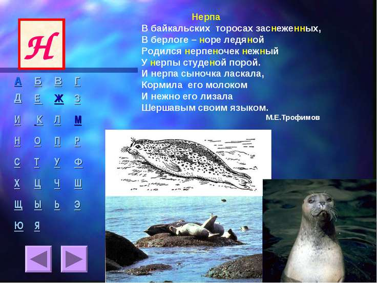 Нерпа В байкальских торосах заснеженных, В берлоге – норе ледяной Родился нер...