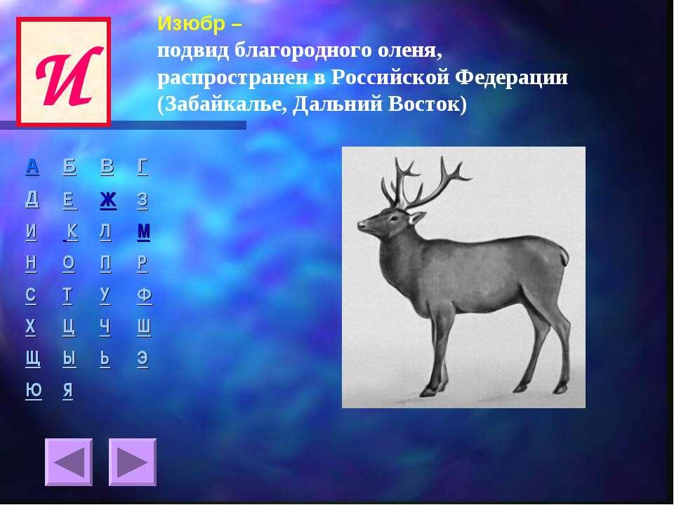 Изюбр – подвид благородного оленя, распространен в Российской Федерации (Заба...