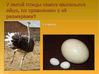 У какой птицы самое маленькое яйцо, по сравнению с её размерами? У страуса.