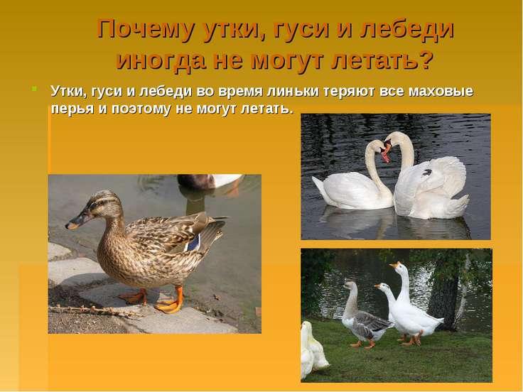 Почему утки, гуси и лебеди иногда не могут летать? Утки, гуси и лебеди во вре...