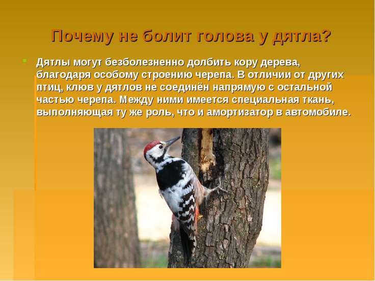 Почему не болит голова у дятла? Дятлы могут безболезненно долбить кору дерева...