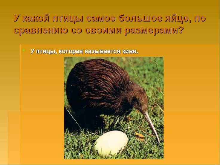У какой птицы самое большое яйцо, по сравнению со своими размерами? У птицы, ...