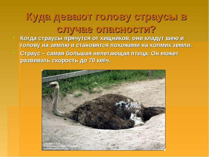 Куда девают голову страусы в случае опасности? Когда страусы прячутся от хищн...