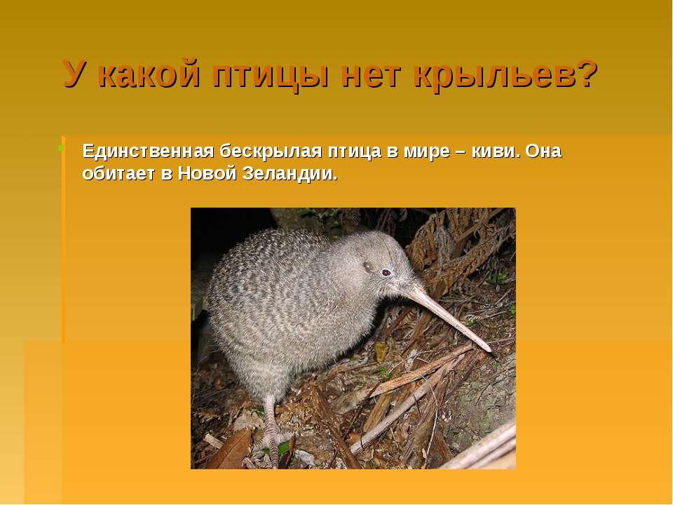 У какой птицы нет крыльев? Единственная бескрылая птица в мире – киви. Она об...