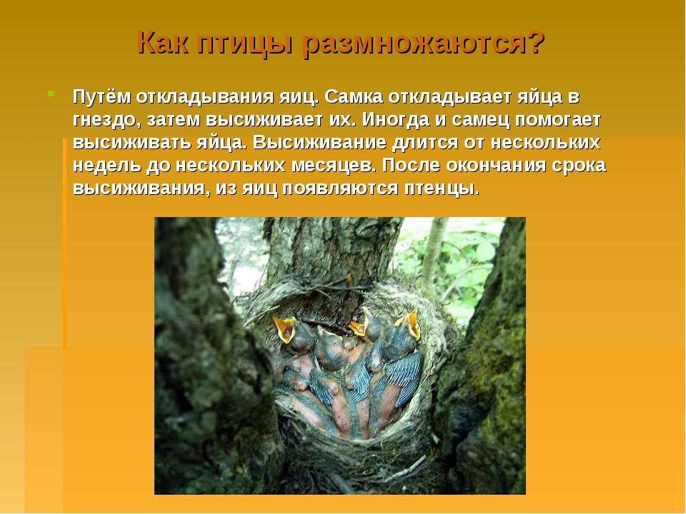 Как птицы размножаются? Путём откладывания яиц. Самка откладывает яйца в гнез...