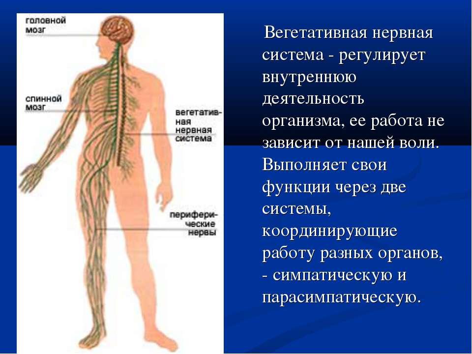 Вегетативная нервная система - регулирует внутреннюю деятельность организма, ...