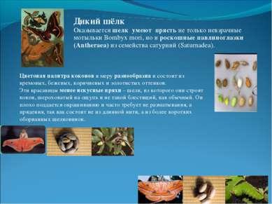 Цветовая палитра коконов в меру разнообразна и состоит из кремовых, бежевых, ...