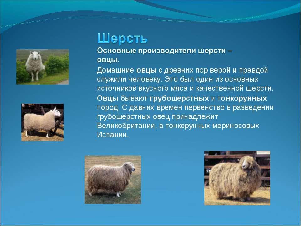 Домашние овцы с древних пор верой и правдой служили человеку. Это был один из...