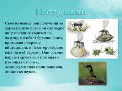 Свое название они получили за характерную позу при откладке яиц: наездник сад...