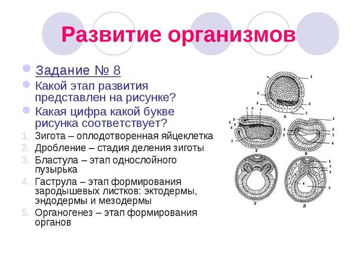 Развитие организмов Задание № 8 Какой этап развития представлен на рисунке? К...