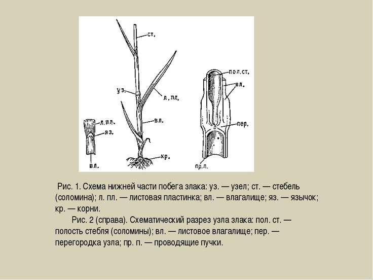Рис. 1. Схема нижней части побега злака: уз. — узел; ст. — стебель (соломина)...
