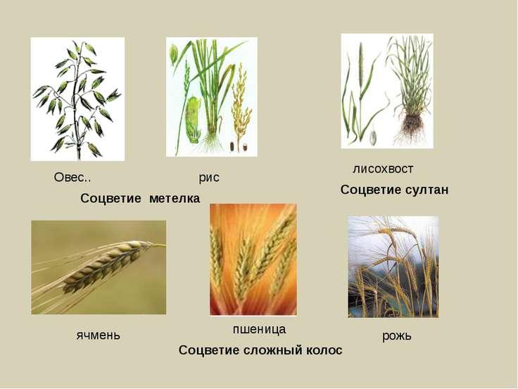 Овес.. рис Соцветие метелка рожь пшеница ячмень Соцветие сложный колос лисохв...
