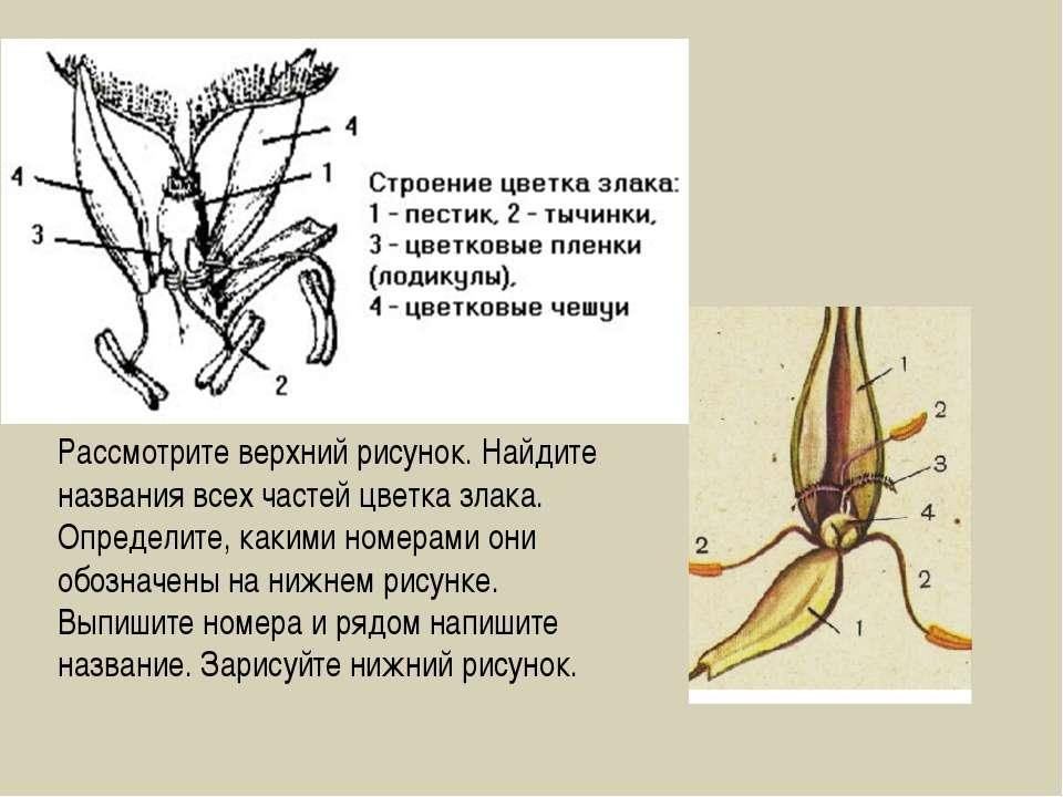 Рассмотрите верхний рисунок. Найдите названия всех частей цветка злака. Опред...