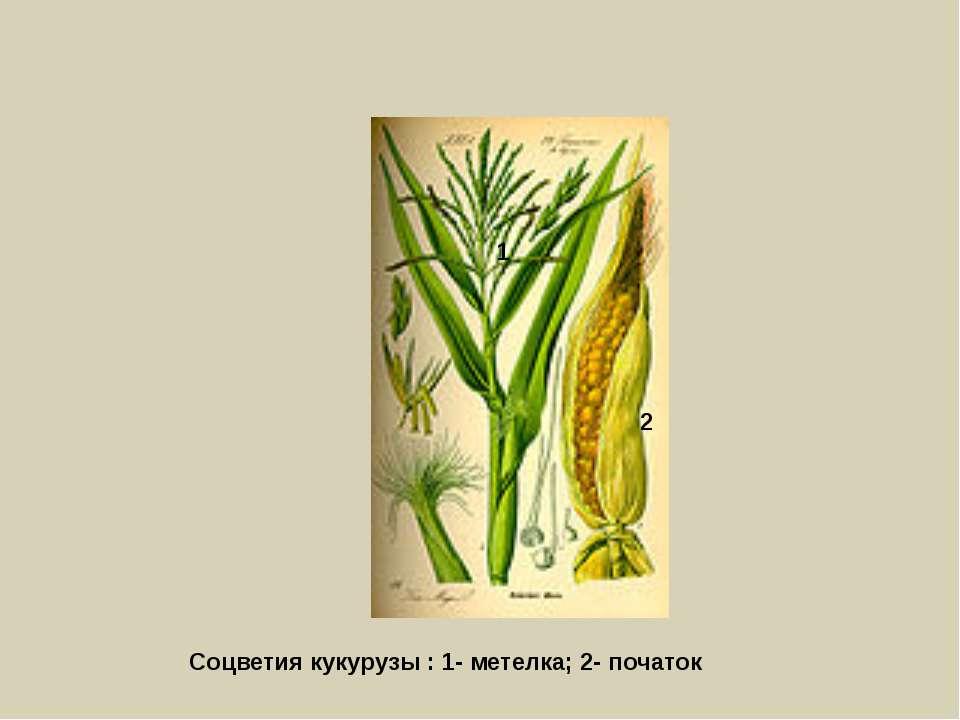 Соцветия кукурузы : 1- метелка; 2- початок 1 2