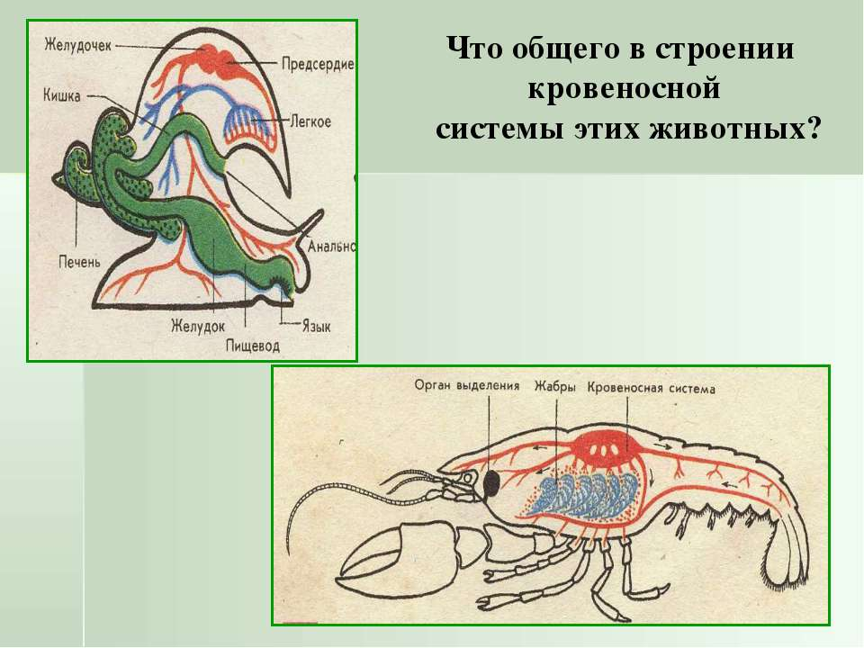 Что общего в строении кровеносной системы этих животных?