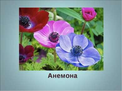 Анемона